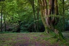 Árvores torcidas na borda do esclarecimento Imagem de Stock Royalty Free