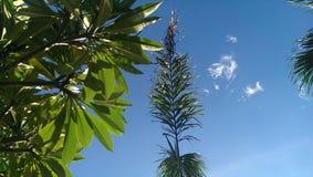 Árvores tropicais que olham acima no céu azul fotos de stock royalty free