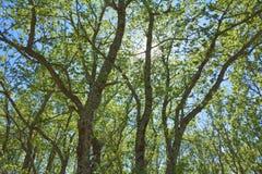 Árvores um sol Fotografia de Stock