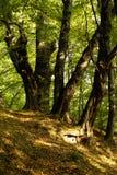 Árvores velhas Foto de Stock