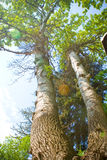 Árvores velhas Fotos de Stock Royalty Free