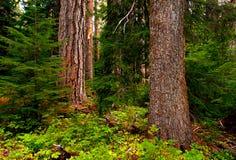 Árvores velhas Fotografia de Stock Royalty Free