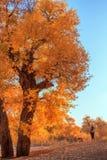 Árvores velhas com folhas vermelhas Imagens de Stock