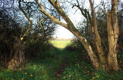 Árvores velhas e um prado Imagem de Stock