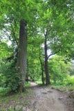 Árvores velhas enormes no jardim Fotografia de Stock