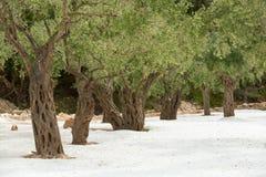 Árvores velhas na areia branca fotos de stock royalty free