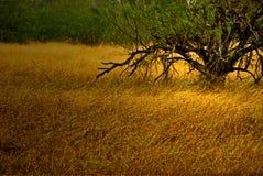 Árvores verdes e grama dourada no outono Fotografia de Stock