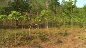 Árvores verdes floresta da teca, Taungoo, Myanmar video estoque