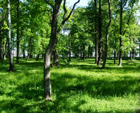 Árvores verdes na floresta e no parque Imagem de Stock Royalty Free