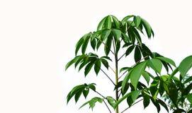 Árvores verdes no fundo branco Foto de Stock Royalty Free