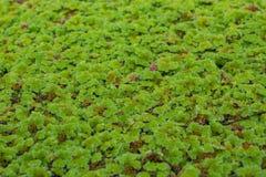 Árvores verdes pequenas na superfície da água Imagens de Stock