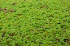 Árvores verdes pequenas na superfície da água Fotografia de Stock Royalty Free