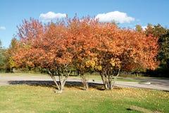 Árvores vermelhas imagens de stock