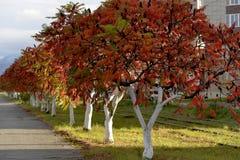 Árvores vermelhas brilhantes um o dia do outono fotos de stock royalty free