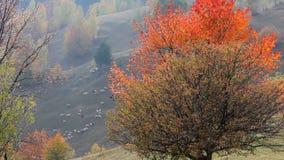 Árvores vermelhas do outono na inclinação de montanha video estoque