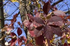 Árvores vermelhas e alaranjadas brilhantes da queda do outono em um parque foliage imagem de stock