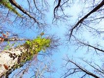 Árvores vistas de abaixo Fotografia de Stock