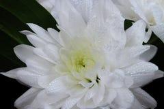 Áster branco com gotas Imagem de Stock Royalty Free