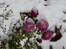 Áster congelado sob a neve imagens de stock royalty free