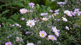 Áster constante Flor roxa no canteiro de flores vídeos de arquivo
