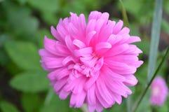 Áster cor-de-rosa da flor Imagem de Stock Royalty Free