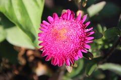 Áster cor-de-rosa de florescência imagens de stock
