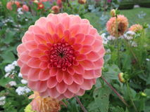 Áster cor-de-rosa de florescência grande Foto de Stock Royalty Free