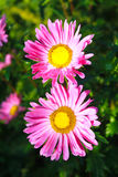 Áster cor-de-rosa no jardim Foto de Stock Royalty Free
