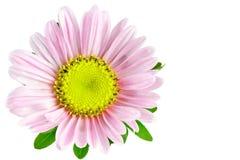 Áster da flor Fotos de Stock Royalty Free