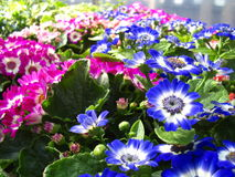 Áster do Cineraria fotografia de stock