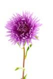 Áster do Lilac Imagens de Stock