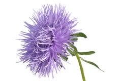 Áster do Lilac Imagens de Stock Royalty Free