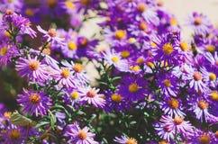 áster lilás pequeno Fundo natural imagens de stock