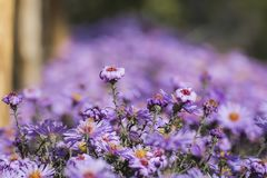 Áster roxo de New York Margarida-como flores com centros dourados fotos de stock