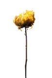 Áster secado sumário Imagem de Stock Royalty Free