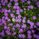 Ásteres alpinos de florescência - áster Alpinus Foto de Stock