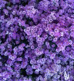 Ásteres constantes roxos espécie, flores da queda Imagens de Stock Royalty Free