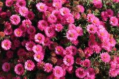Ásteres cor-de-rosa com abelhas Fotografia de Stock