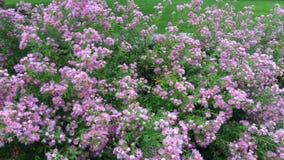 Ásteres do jardim da alfazema no outono em Sunapee, New Hampshire filme