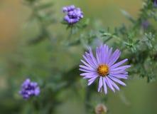 Ásteres que florescem no jardim Fotografia de Stock Royalty Free