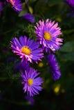 Ásteres roxos no Sun Imagem de Stock