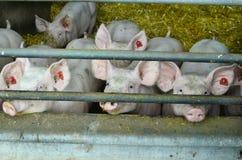 Áustria, cultivo animal Fotografia de Stock Royalty Free