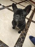 ¼ Œpet Dogï-¼ Œlovelinessï-¼ ŒFrench Bulldogï lizenzfreies stockbild