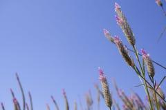 € Каракаса Celosia «цветок cockscomb в природе против предпосылки голубого неба стоковые фото