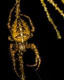 """""""European garden spider."""" Stock Image"""