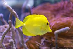 'Bubbles' the yellow tang. Bubbles the yellow tang fish against a blue and purple blur coral background royalty free stock photography