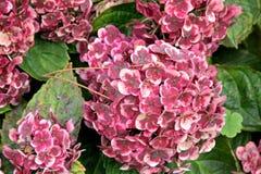 €˜Frau Katsuko' del macrophylla de la hortensia Imágenes de archivo libres de regalías