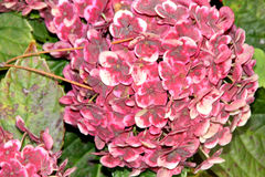 €˜Frau Katsuko' van hydrangea hortensiamacrophylla Royalty-vrije Stock Afbeeldingen