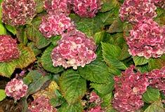 €˜Frau Katsuko' van hydrangea hortensiamacrophylla Stock Afbeelding