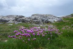 'Sea Thrift' wildflower. Wild flower Sea Pink or Sea thrift on rocks at seashore. Botanical name Armeria maritima. Grows on cliff tops Stock Photography